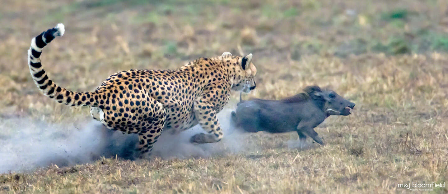 Female Cheetah chasing a Warthog Masai Mara Kenya picture taken by Mark and Jacky Bloomfield nature photographers