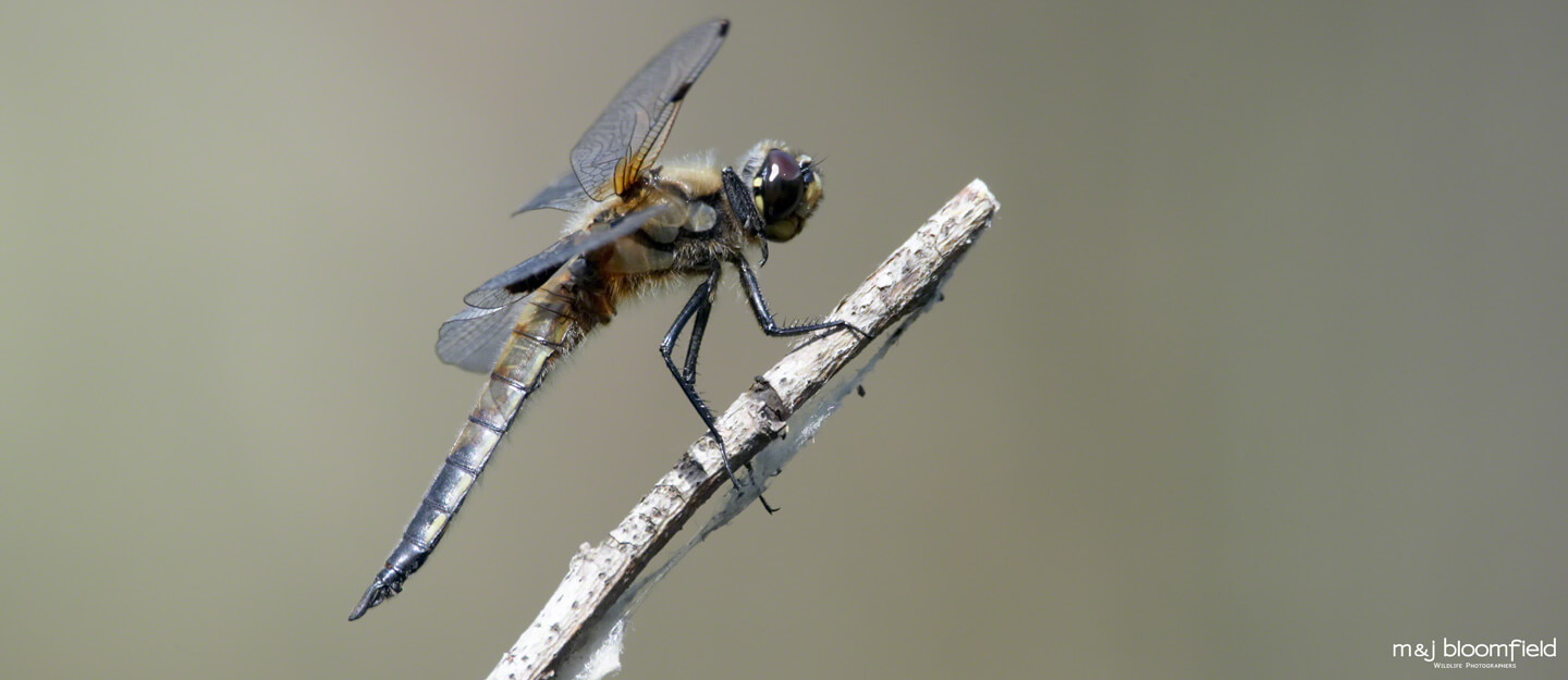 Dragonfly resting on a reed stem taken by M and J Bloomfield wildlife photographers