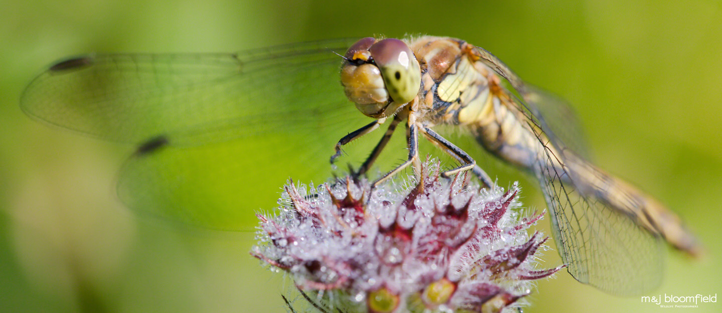 Dragonfly resting on a flower taken by Mark and Jacky Bloomfield wildlife photographers