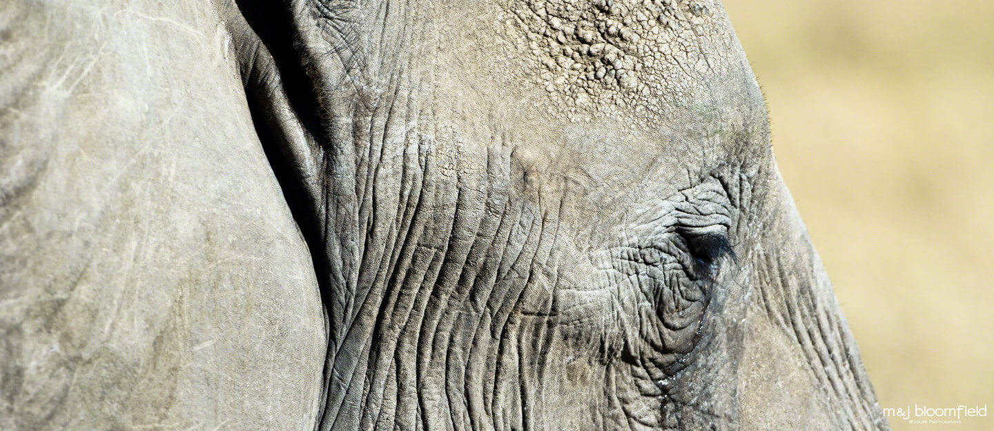 African Elephant close up of the right eye Masai Mara Kenya picture taken by Mark and Jacky Bloomfield wildlife photographers