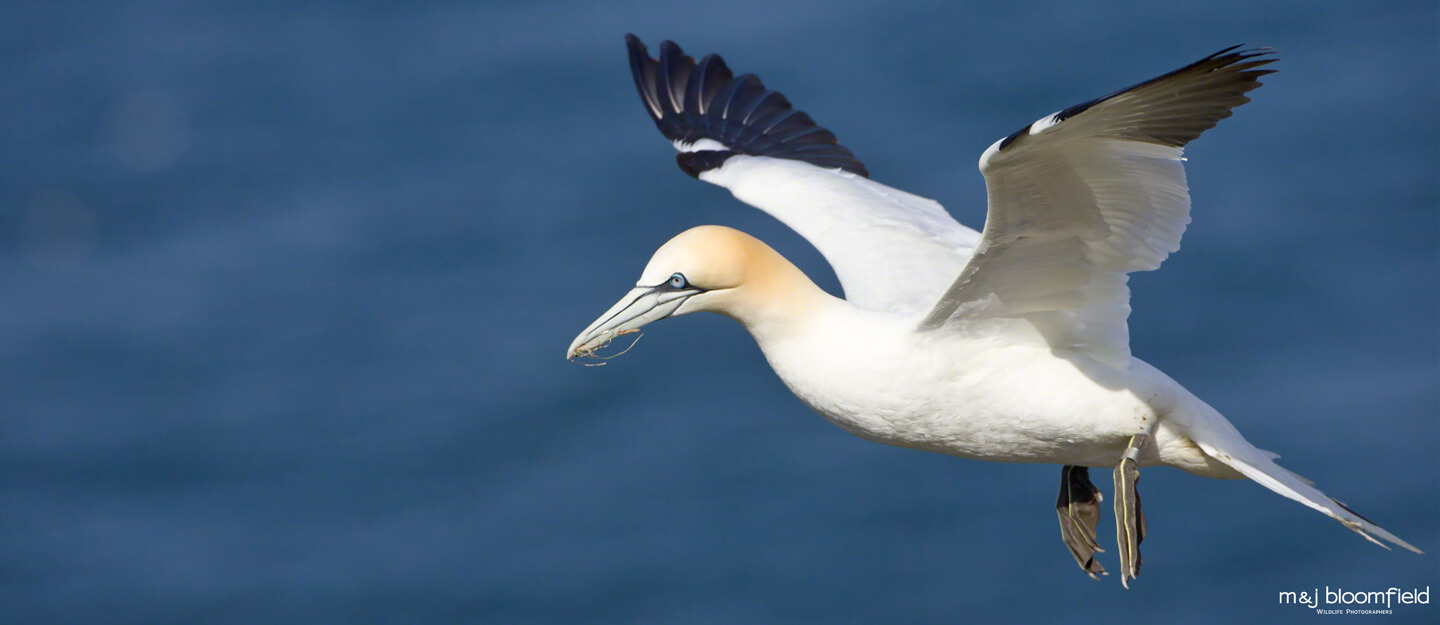 Atlantic Gannet in flight over the cliffs at Bempton taken by Mark and Jacky Bloomfield wildlife and nature photographers