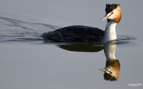 Picture of a Great Crested Grebe swimming taken by Mark and Jacky Bloomfield Wildlife Photographers