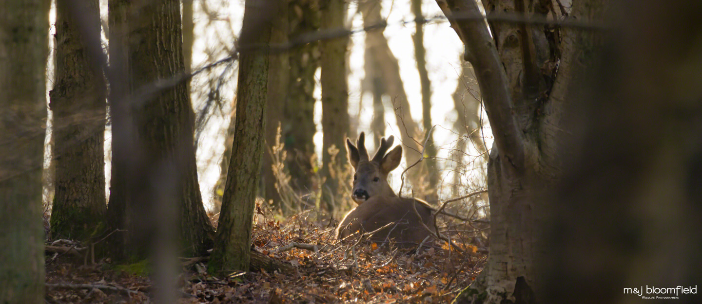 RoeDeer laying in a wood in Berkshire England taken by M & J Bloomfield wildlife photographers