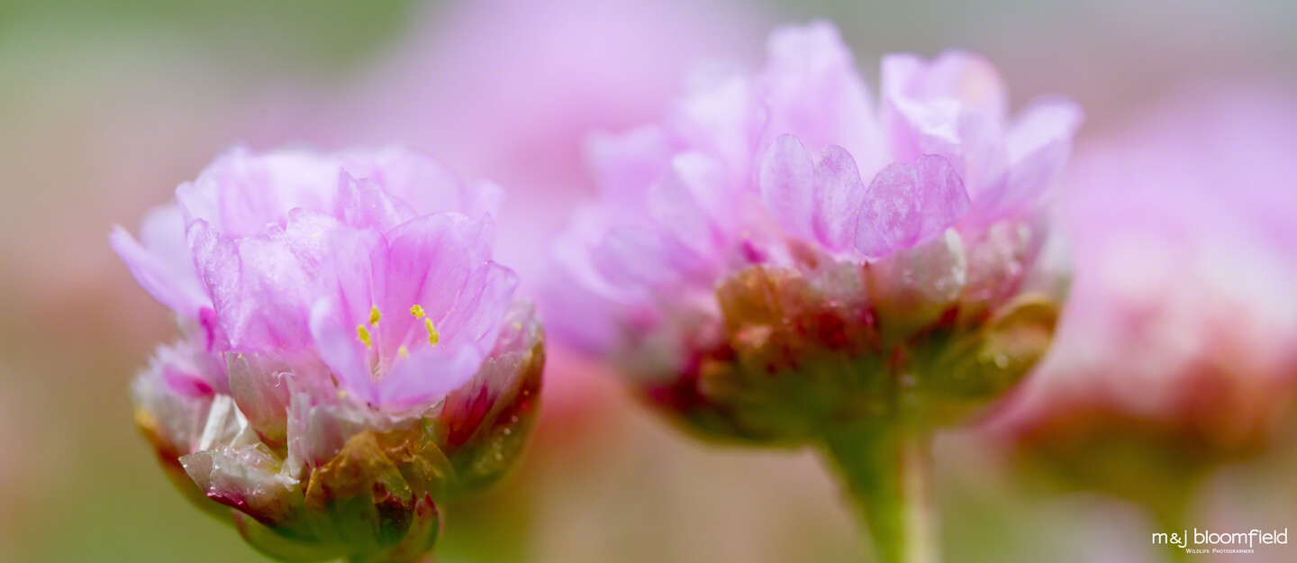Close up of Pink Sea Thrift flowers Shetland Scotland taken by Mark and Jacky Bloomfield nature photographers