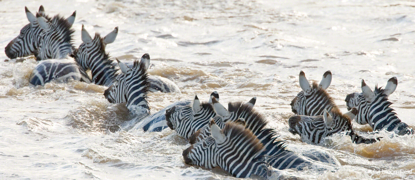 Herd of Zebra crossing the Mara river during the annual migration Masai Mara Kenya taken by M and J Bloomfield wildlife photographers